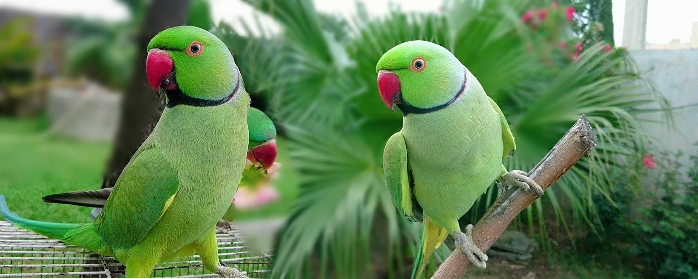 Parrot-(ගිරවා)
