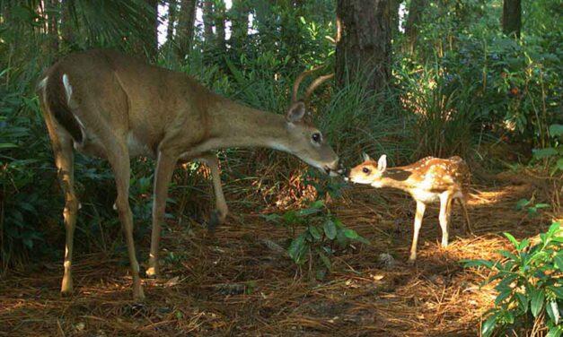 A deer caught in a trap-(උගුලකට අසු වු මුව පැටවකු)