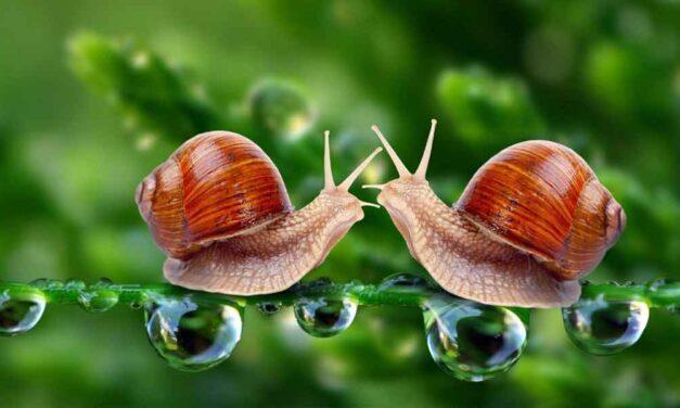 ගොළුබෙල්ලා -Snail