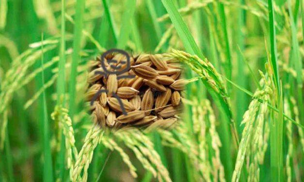 I am a small paddy seed-(මම කුඩා වී ඇටයක් වෙමි)